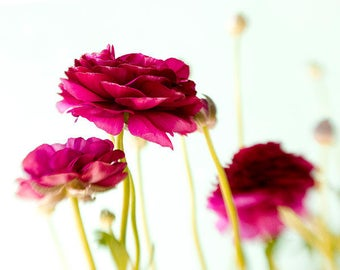 Red Ranunculus  Photograph, Flower Still Life, Floral Wall Decor, Nature Photography