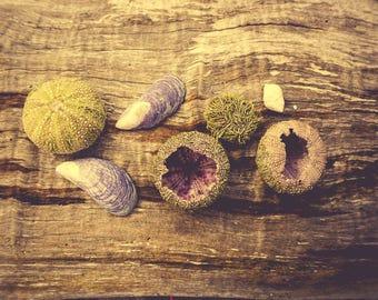 Beach Decor - Beach Cottage Wall Art - Driftwood Photograph- Shell Photograph - Sea Urchin Art Print - Still Life Photography - Brown Art