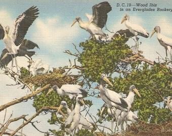 D.C. 19 - Wood Ibis in an Everglades Rookery, FL vintage postcard