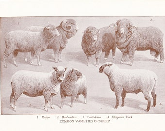 1920s Animal Print - Wool Sheep - Vintage Antique Home Decor Book Plate Art Illustration for Framing 95 Years Old