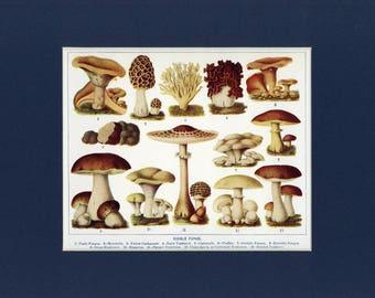 Natural History 1911 Antique Print of Edible Fungi Mushrooms