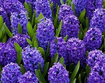 Hyacinth Shower Gel, Whipped Body Butter, Lotion, Body Spray, Bath Soak, Shampoo or Conditioner