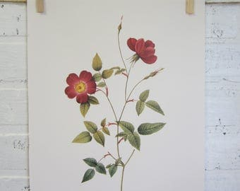 Redoutes Roses Book Page Plate Botanical Wall Art Burgundy Rosa Indica Stelligera Rose