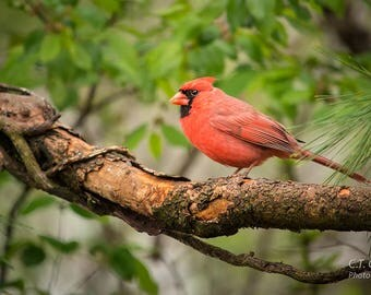 Cardinal Bird Nature Photography Print, Avian photography, Red Bird, vivid colored wall decor