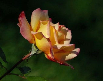 Peace Rose photo, great wall decor, home decor, cottage decor