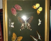 RESERVED FOR LISA Vintage butterfly taxidermy gold frame picture wall art