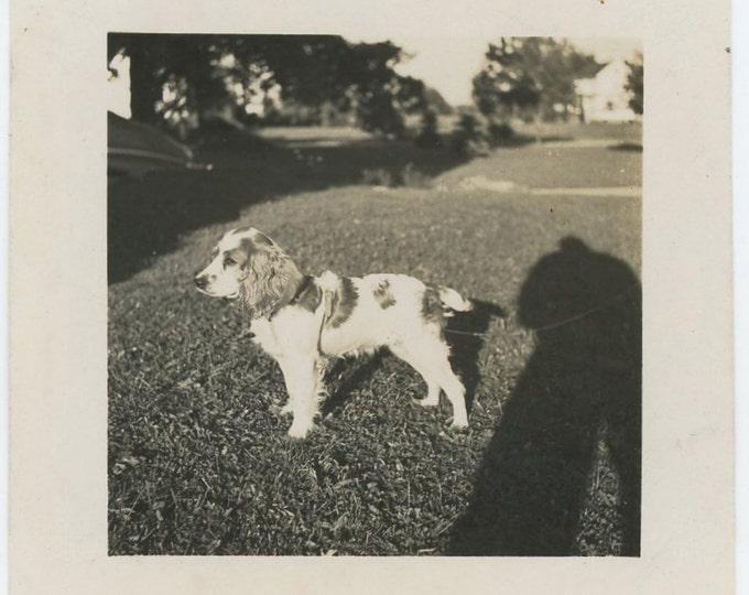 Vintage Snapshot Photo: Dog & Photographer Shadow, c1940s (71540)