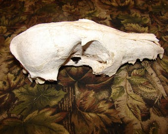 Naturally Weathered Real Animal skull Bone, small animal bone natural bone items from nature, skeleton piece, natural decor
