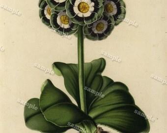 Primulaceae 1852  Hand colored  Botanical  Hand Colored  Flora Lithograph Original art wall art decorative art