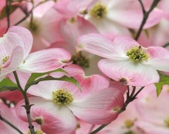 Flower Photograph - Dogwood Flowering Tree - Pink Dogwood - Spring flower - Pink Spring - Dogwood - Elegant Flower - Nature Photograph