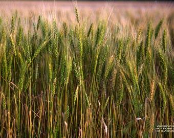 Wheat Crop Photography, Wheat Grain, Wheat Wall Hanging, Farmhouse Decor, Country Home Art, Harvest Season, Farming Print, Farming Decor