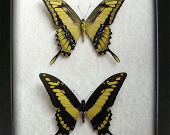 King Swallowtail Real Butterflies Papilio Thoas Cinyras In Museum Quality Display
