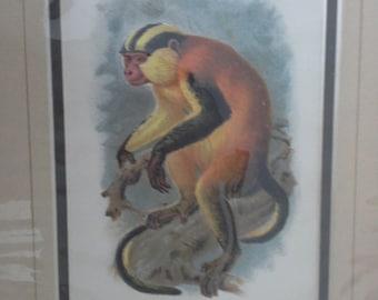 A erxleben's guenon monkey vintage print