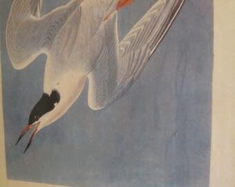Beautiful Antique Bird Framed Print Art Audubon