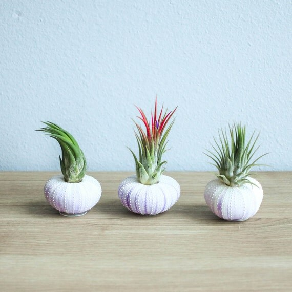 3 Purple Urchin Shells With Air Plants In A Gift Bag