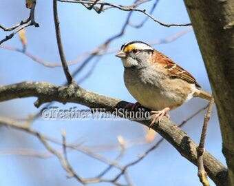 White Throated Sparrow | Fine Art Yard Bird Photography | Songbird | Wildlife Wall Art | Nature | FeatherWindStudio | Sparrow Bird Print