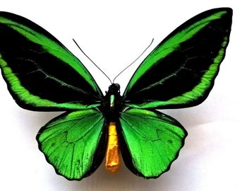 Ornithoptera Priamus Kassandra Male f. Cronius  - RARITY!