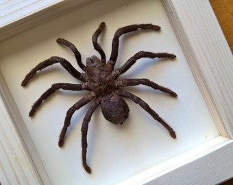Real GIANT Birdeating Tarantula Framed  - Taxidermy - Home Decoration - Collectibles