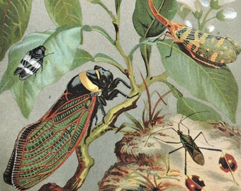 Cicadas print. Insects print. Old book plate, 1904. Antique  illustration. 113 years lithograph. 9'6 x 6'2 inches.