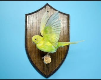 Yellow parakeet Budgerigar flying style Taxidermy bird  mounted  hanging wall free shipping to everywhere