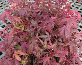 Japanese Maple - Bloodgood Parentage. Size: 5 - 10 inches - 1st year