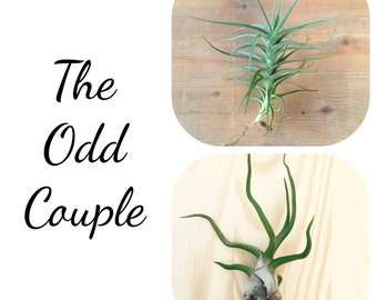 The Odd Couple - 2 Tillandsia Air Plant Collection