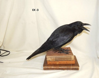 Taxidermy crow -with 3 x  books - Raven family