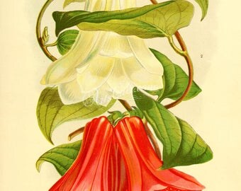 flowers-16019 - lapageria rosea, lapageria rosea alba, Chilean bellflower or copihue flowering plant botanical digital illustration image