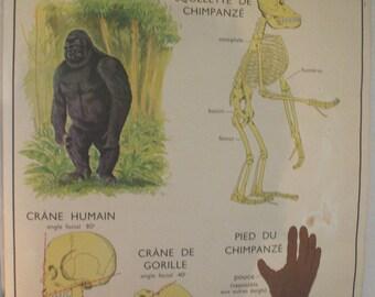 "School poster Nightingale ""the monkey / the cat"