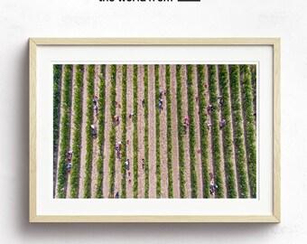 Framed Vineyard Grape Picking Aerial Photography, Large Landscape Wall Art Decor, Fine Art Photography, Art Prints, Green, Organic, Winery