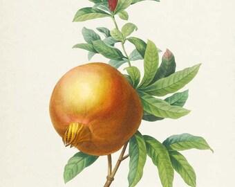 Pomegranate Botanical Print - Pomegranate Art Print - Fruit Art - Fruit Print - Kitchen Art - Garden - Redoute Art - Grenadier Punica