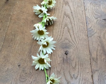 daisy garland (real flowers) for your wedding (5 meter)
