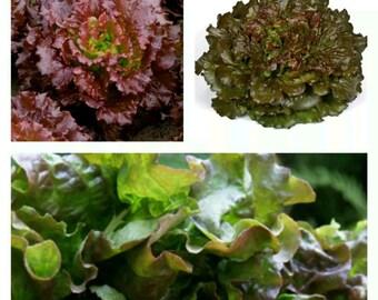 250 seeds lettuce batavia red red batavia Lettuce seeds graines sementes