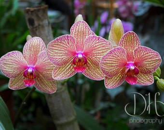Three Orchids - Flowers - Nature Photography - Plants - HD - Digital