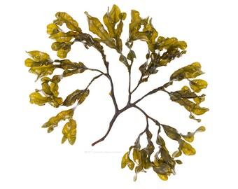 Bladderwrack (Fucus vesiculosus No.4) - seaweed, beachcombing, beach -  11 x 14 photograph