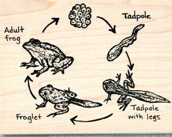 Frog Life Cycle Rubber Stamp, Biology Science Series O32303 Wood Mounted