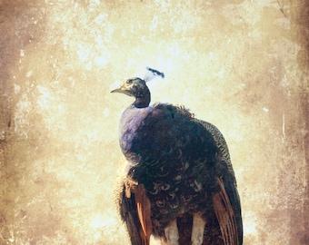 Peacock Art Print - Shabby Chic Wall Art - Wildlife Photography