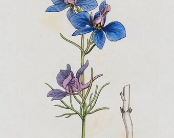 1808 Antique BOTANICAL Print, Handcolored Blue flower, Forking Larkspur, Original Antique FLOWER Print of Wild Flowers. Antique Print