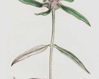 1808 Antique BOTANICAL Print, Handcolored pink flower print, field cow-wheat, Original Antique FLOWER Print of Wild Flowers. Antique Print