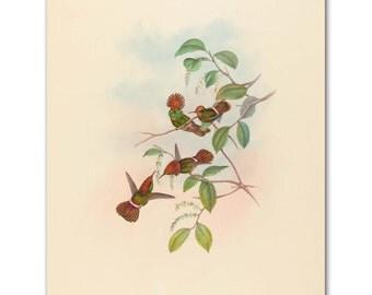 "French Country Wall Decor (Hummingbird Art, Bird Print) John Gould Artwork -- ""Spangled Coquette"""