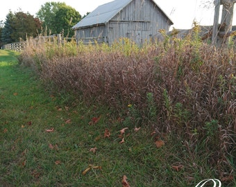 Country Farm With Tall Grass & Barn Print or Backdrop