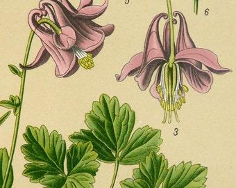 1900 Antique print of a COLUMBINE FLOWERING PLANT Grannys nightcup. Poisonous plant. Aquilegia vulgaris Grannys bonnet. 117 years old print