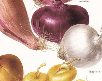 onion onions garden vegetable vintage botanical art print gardening gift food kitchen decor by Marilena Pistoia 8 x 11 1/4 inches