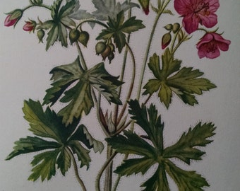 Spotted cranesbill, antique botanical litho print, 1954