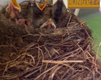Baby Birds: Hungry?