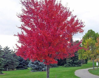 Acer Rubrum - 25 Seeds - Maple Syrup Tree