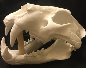 African Lion skull replica