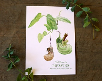 California Pipevine: Wildflower Watercolor 5 x 7 Print