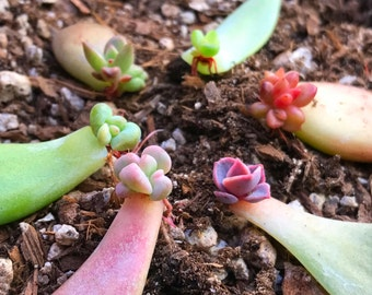 10 Succulent Leaves With Baby Succulents For Propagation of Succulent Rosettes Grow Your Own Colorful Succulent Leaf Cuttings