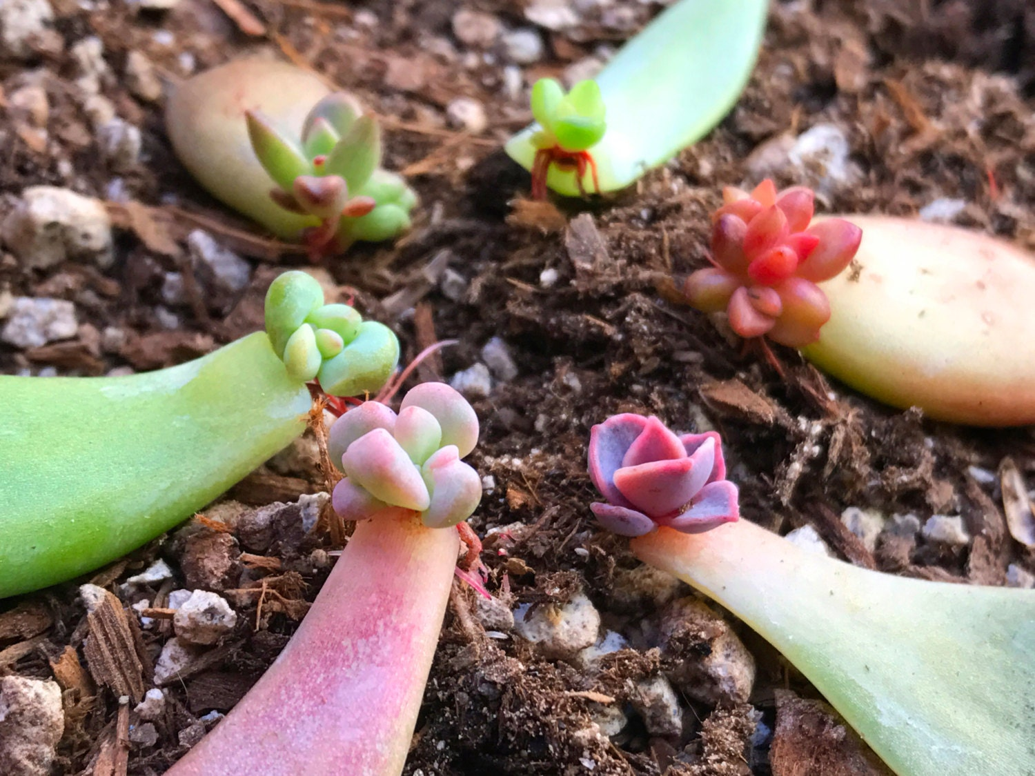 how to grow succulents from fallen leaves